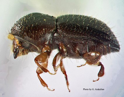 Female Polyphagous Shot Hole Borer